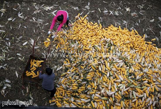 جنى الذرة فى الصين استعدادا لبيعها -اليوم السابع -10 -2015