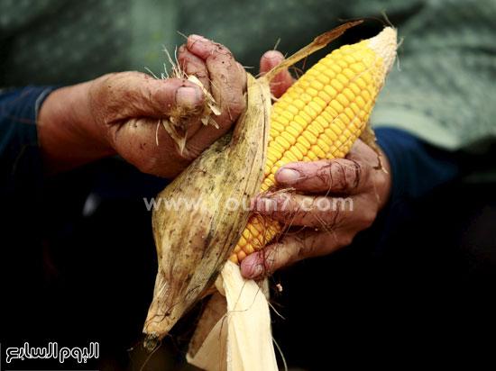 تقشير أحد المزارعين لحبة الذرة بيده -اليوم السابع -10 -2015