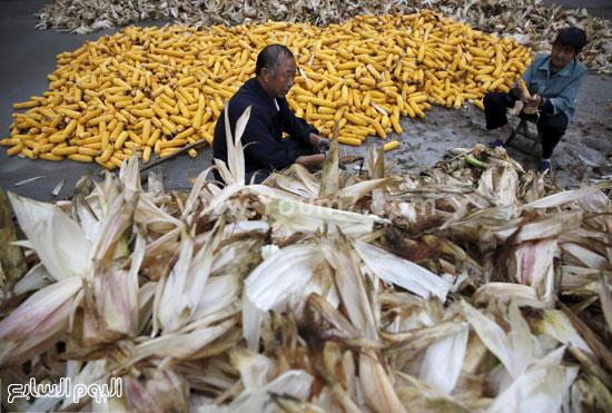جانب آخر من جنى الذرة فى الصين -اليوم السابع -10 -2015