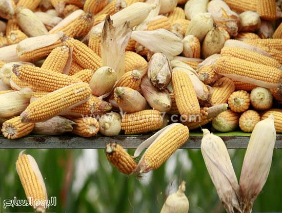 محصول الذرة يعيد للمزارعين الصينيين العمل فى الأرض -اليوم السابع -10 -2015