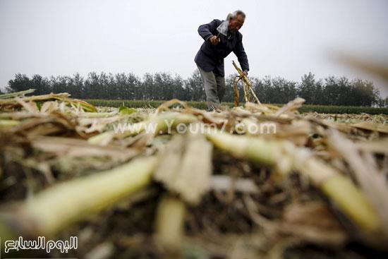 جنى أحد المزارعين لمحصول الذرة -اليوم السابع -10 -2015