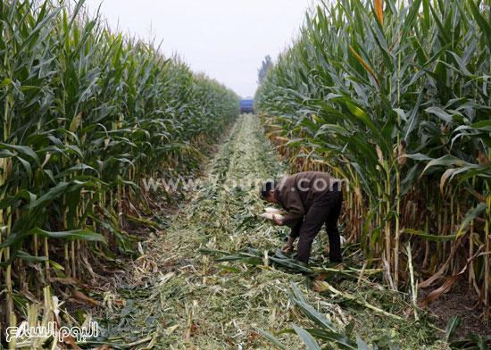 جنى محصول الذرة بأيدى العمال الزراعيين -اليوم السابع -10 -2015