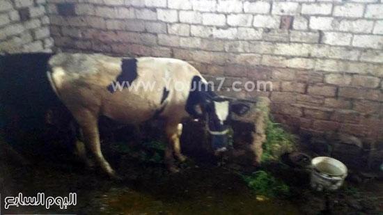 صاحب البقرة المبروكة (2)