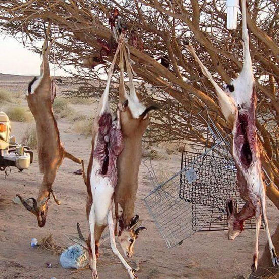 البحر الاحمر، اخبار البحر الاحمر، محميات البحر الاحمر، غزلان، الصيد الجائر، شرطة البيئة (2)