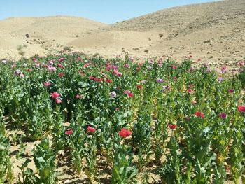 ضبط وحرق 4 مزارع نباتات مخدرة (2)