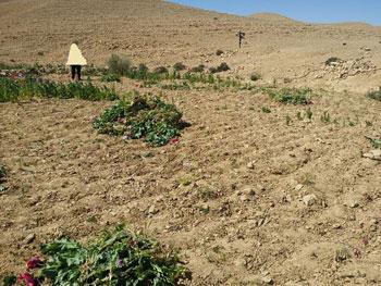 ضبط وحرق 4 مزارع نباتات مخدرة (5)