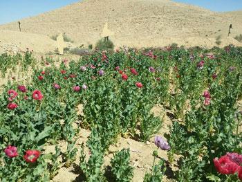 ضبط وحرق 4 مزارع نباتات مخدرة (7)