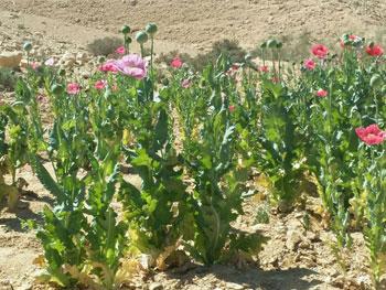 ضبط وحرق 4 مزارع نباتات مخدرة (9)