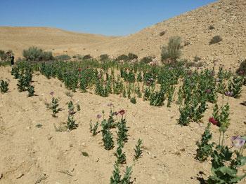 ضبط وحرق 4 مزارع نباتات مخدرة (10)