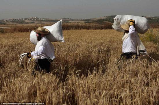 اليهود المتشددون يخزنون القمح لمدة عام قبل أن يصح لهم استخدامه -اليوم السابع -4 -2015