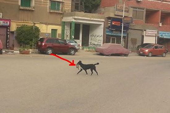 الكلب يلتقط القطة من منتصف الشارع -اليوم السابع -4 -2015