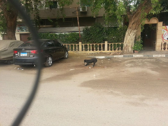 الكلب يحفر على جانب الشارع لدفن القطة -اليوم السابع -4 -2015