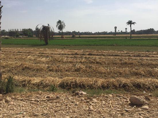محصول القمح باسيوط (2)