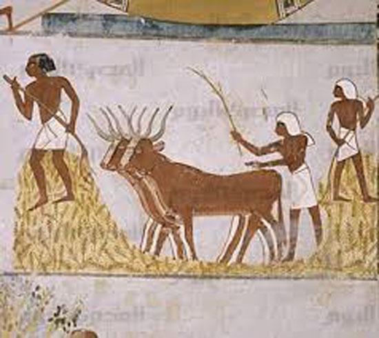 موسم الحصاد عند الفراعنة (4)