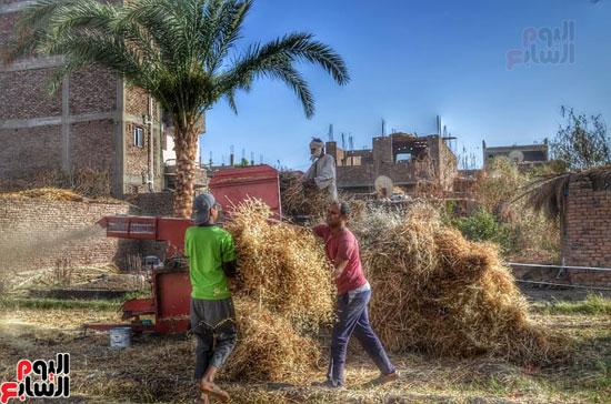 موسم الحصاد عند الفراعنة (7)