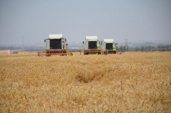 حصاد-القمح