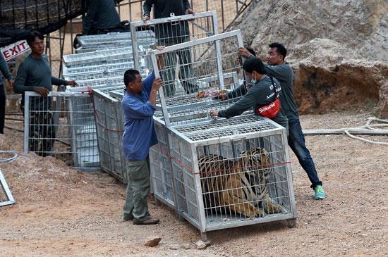 العثور على جثث 40 شبل نمر فى معبد بوذى فى تايلاند (1)