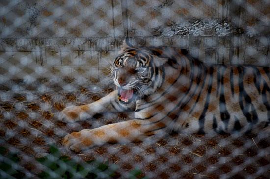 العثور على جثث 40 شبل نمر فى معبد بوذى فى تايلاند (12)