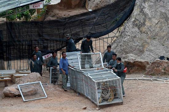 العثور على جثث 40 شبل نمر فى معبد بوذى فى تايلاند (2)