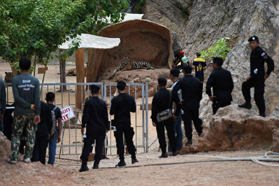 العثور على جثث 40 شبل نمر فى معبد بوذى فى تايلاند (3)