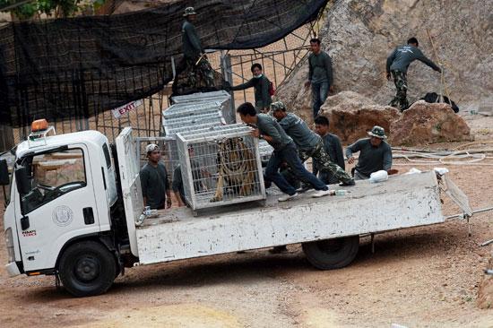 العثور على جثث 40 شبل نمر فى معبد بوذى فى تايلاند (4)