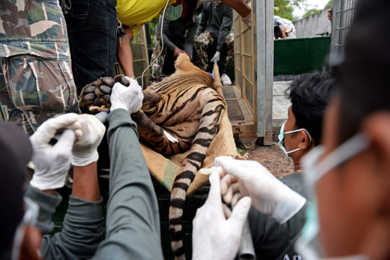 العثور على جثث 40 شبل نمر فى معبد بوذى فى تايلاند (5)