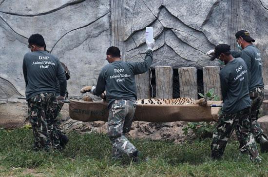 العثور على جثث 40 شبل نمر فى معبد بوذى فى تايلاند (7)
