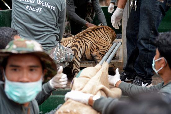 العثور على جثث 40 شبل نمر فى معبد بوذى فى تايلاند (8)