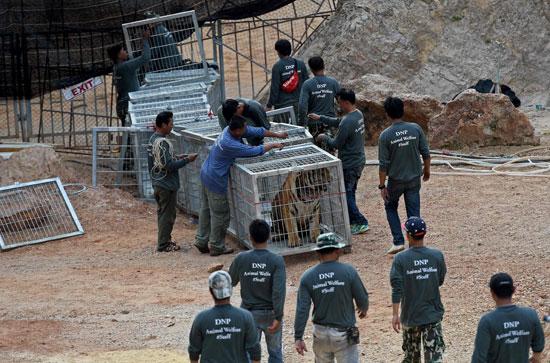 العثور على جثث 40 شبل نمر فى معبد بوذى فى تايلاند (9)