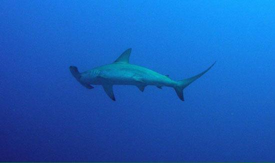 سمك قرش (2)