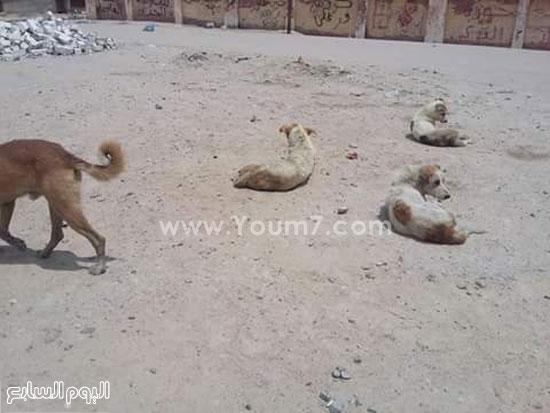 كلاب ضالة بالشارع -اليوم السابع -7 -2015