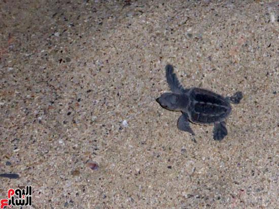 السلاحف البحريه (4)