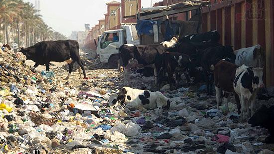 تواجد-من-المواشي-تاكل-من-القمامة-بالعزبة
