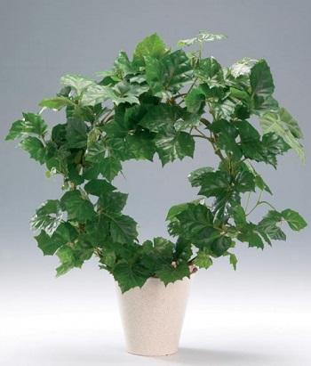 نبات الكرمة العذراء