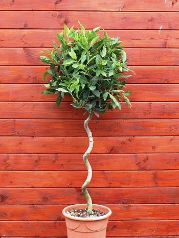 شجرة أوراق الغار