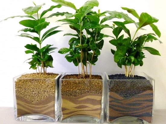 نبات القهوة