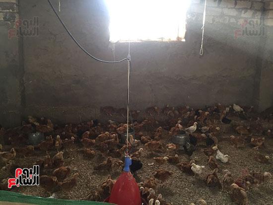 مزرعة دواجن بقرية برما بالغربية