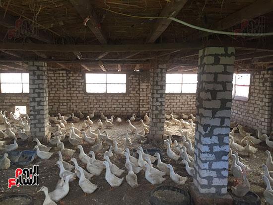 مزرعة بط بقرية أكبر قرى انتاجا للثروة الداجنة بالغربية