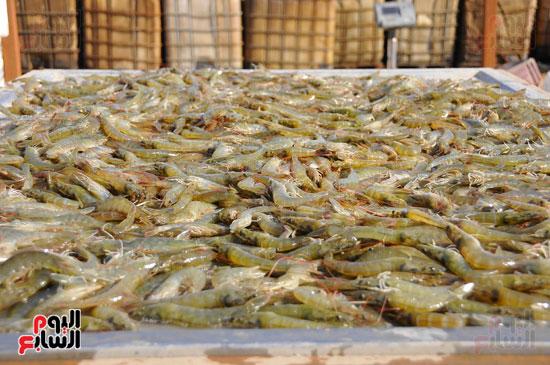 جمبرى تم استزراعة فى مشروع زراعة الأسماك