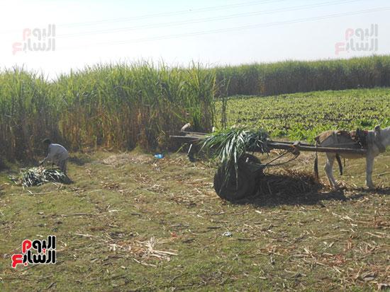 محصول-القصب-قبل-الكسر