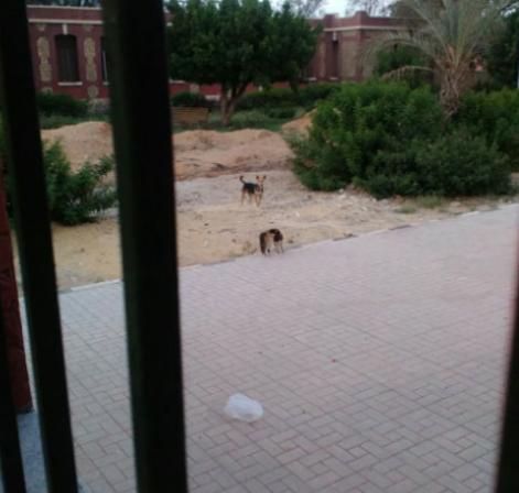 الكلاب الضالة داخل مستشفى الحميات بالعباسية