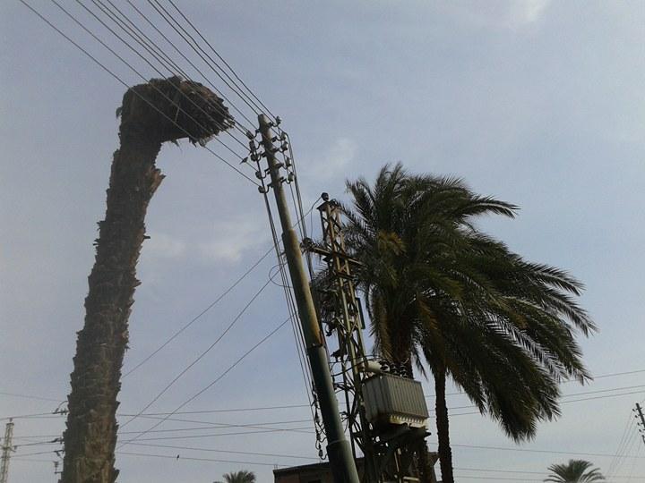 نخلة تميل على عمود الكهرباء