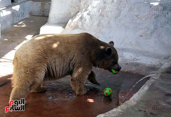 الدب يلعب بالكور