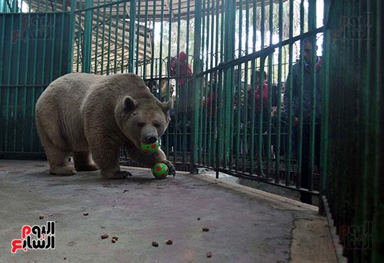 الدب يختار الكور