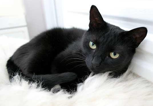 تفسير-القطة-السوداء-في-الحلم