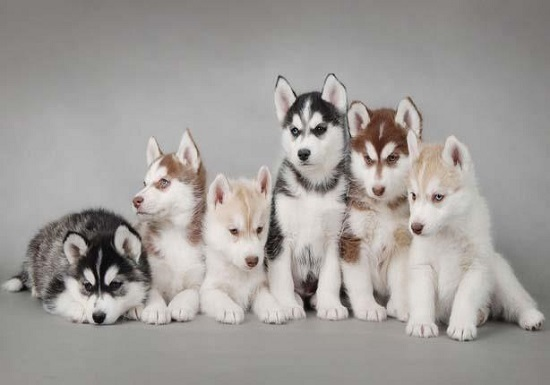 """5 معلومات لازم تعرفها قبل ما تشترى كلب """"هاسكى"""".. أهمها بيعيش فى البرد ..."""