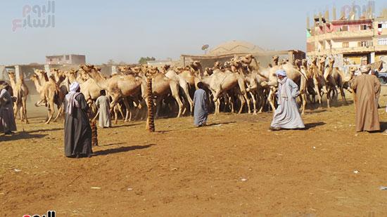 الجمال الواردة من السودان