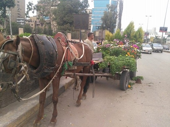 الورد والبرسيم الخاص بأكل الحصان
