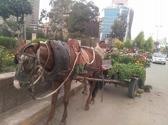 العربة الكارو الخاصة بعماد