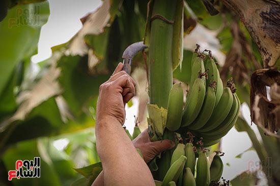 شجر الموز داخل الجزيرة